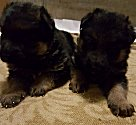 Clar-Tim  Puppies - Haus Merkel Puppy For Sale